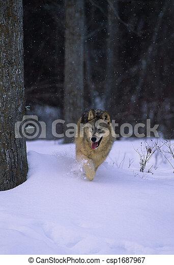 Grey Wolf Running - csp1687967