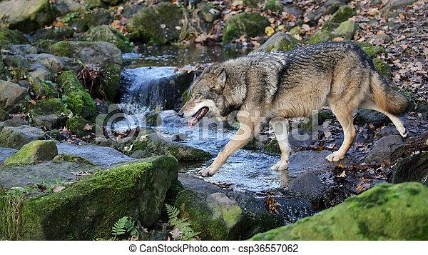 Grey wolf - csp36557062