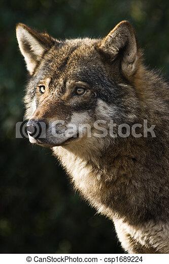 Grey wolf - csp1689224
