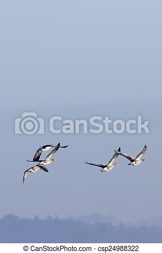 greylag, gänse, flug - csp24988322