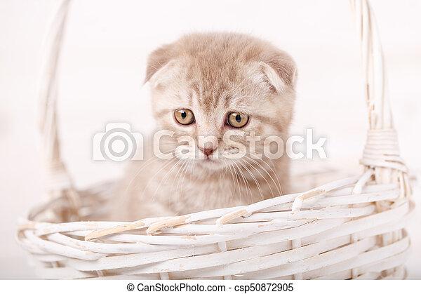 Grieved Cream-colored Scottish kitten looks from wicker basket. - csp50872905