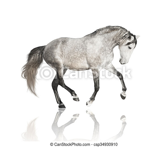 Grigio Cavallo Isolare Sfondo Bianco Grigio Cavallo Isolare