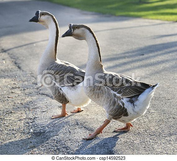 grijs, geese - csp14592523
