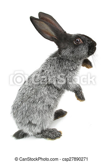 grijs, konijn - csp27890271