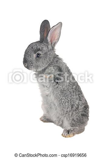 grijs, konijn - csp16919656