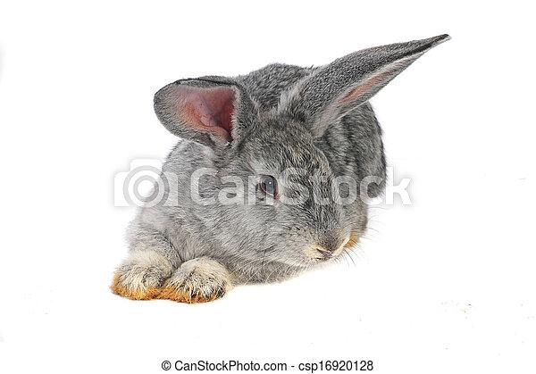 grijs, konijn - csp16920128
