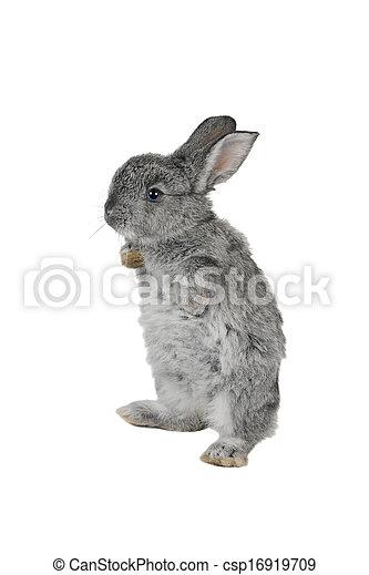 grijs, konijn - csp16919709