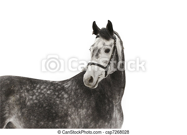 grijs, paarde - csp7268028