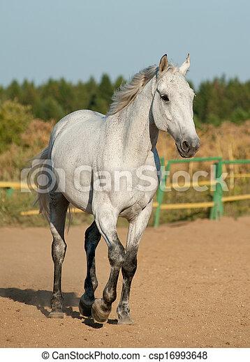 grijs, paarde - csp16993648