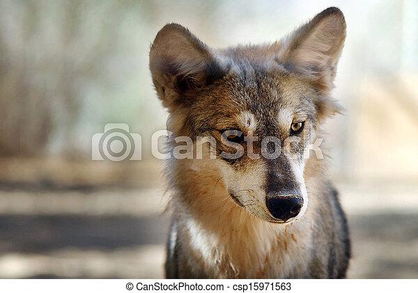 grijze wolf - csp15971563