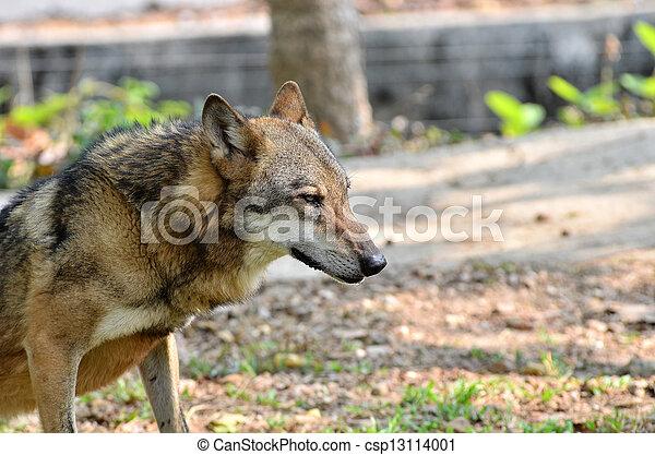 grijze wolf - csp13114001