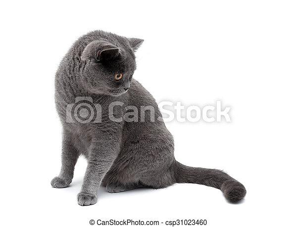 Gato gris aislado en el fondo blanco - csp31023460