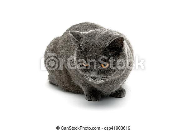Gato gris aislado en el fondo blanco - csp41903619