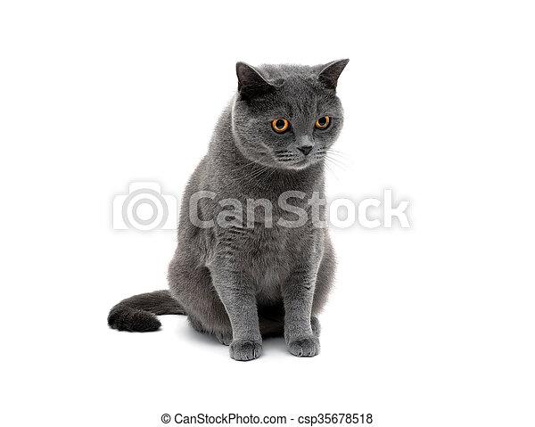 Gato gris en un primer plano de fondo blanco. - csp35678518