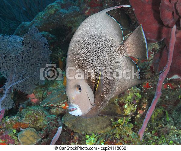 Un pez ángel gris en un arrecife de coral, un roatan - csp24118662