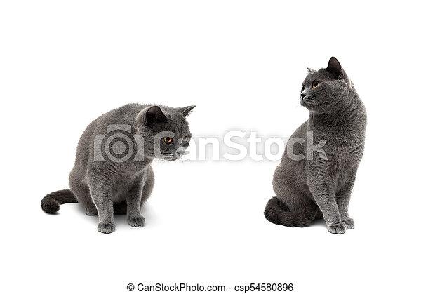 Un primer plano de un gato gris sobre un fondo blanco - csp54580896