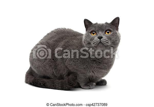 Un primer plano de un gato gris sobre un fondo blanco - csp42737089