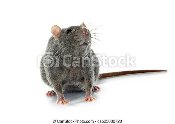 Rata gris - csp25080720