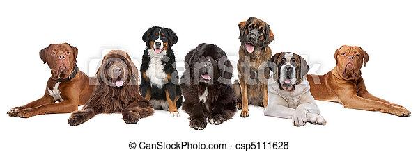 groß, groß, gruppe, hunden - csp5111628