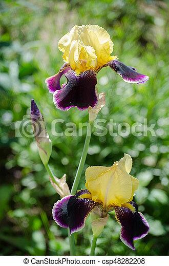 Groß, groß, iris, blumen, draußen. Groß, iris, hintergrund, draußen ...