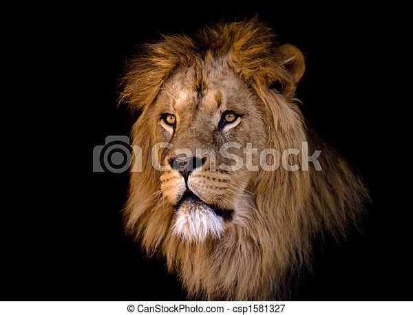 groß, löwe, mann, afrikanisch - csp1581327