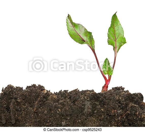 groeiende, beetroot, vellen - csp9525243