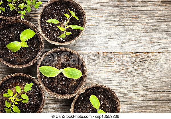 groeiende, turf, potten, mos, seedlings - csp13559208