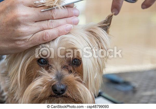 Grooming Head Of Yorkshire Terrier Closeup Closeup View Of Grooming
