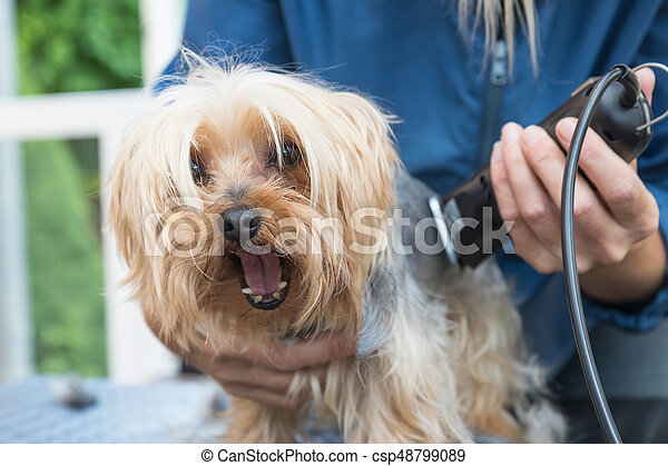 Grooming Yorkshire Terrier Dog Has Open Mouth Grooming Yorkshire