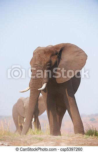 groot, elefant, afrikaan, stier - csp5397260