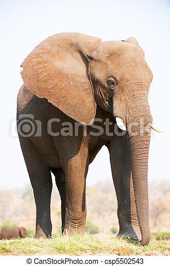 groot, elefant, afrikaan, stier - csp5502543