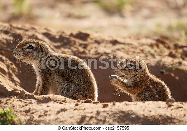 ground squirrels - csp2157595