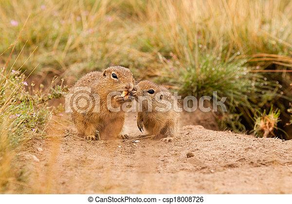Ground squirrels - csp18008726