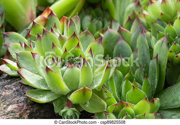 Group of an evergreen groundcover plant Sempervivum known as Houseleek in rockery, close up - csp89825508