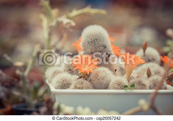 Group of cactuses with orange flowers - csp20057242