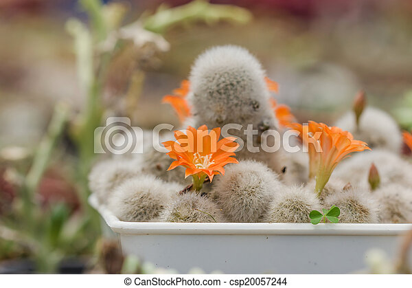 Group of cactuses with orange flowers - csp20057244