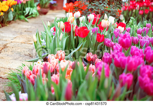 Group of colorful tulip. Pink flower tulip lit by sunlight. Soft selective focus - csp81431570
