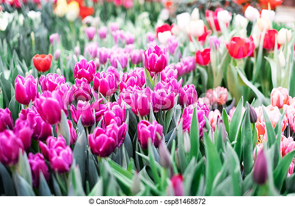 Group of colorful tulip. Pink flower tulip lit by sunlight. Soft selective focus - csp81468872