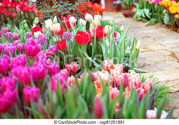 Group of colorful tulip. Pink flower tulip lit by sunlight. Soft selective focus - csp81251891