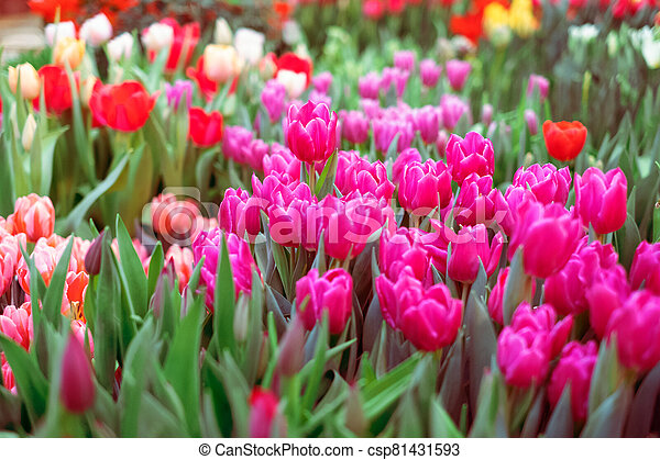 Group of colorful tulip. Pink flower tulip lit by sunlight. Soft selective focus - csp81431593