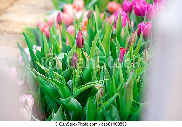 Group of colorful tulip. Pink flower tulip lit by sunlight. Soft selective focus - csp81468838