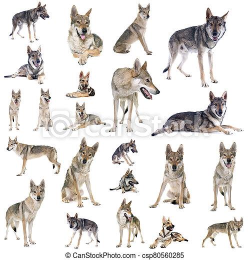 group of Czechoslovakian wolf dog - csp80560285