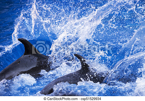 Group of dolphins in blue turquoise water. - csp51529934