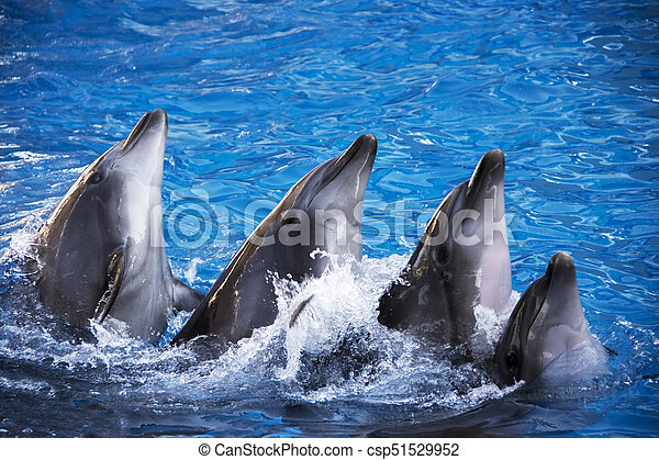 Group of five dolphins in blue turquoise water. - csp51529952