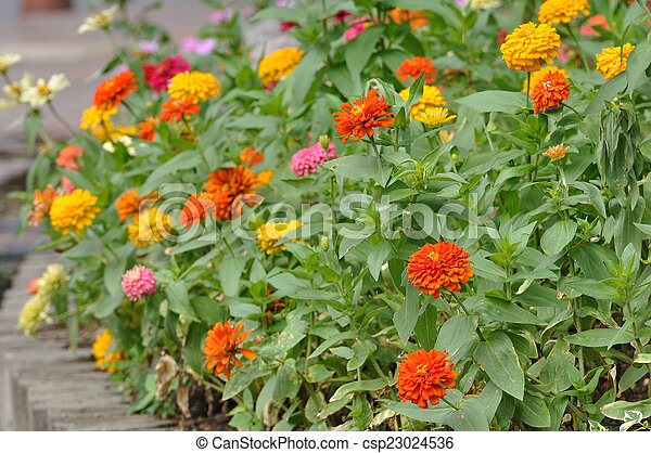 Group of flower zinnia of lilac color in garden - csp23024536