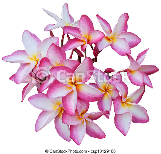 group of Frangipani flowers bloomin - csp10129188