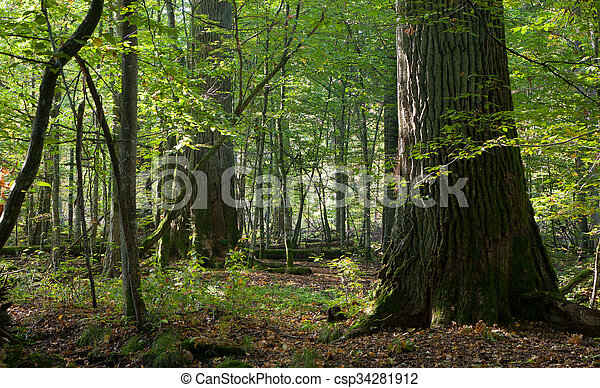 Group of giant oaks in natural forest - csp34281912