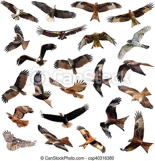 Group Of Medium Sized Diurnal Birds Of Prey Eagles And Hawks Isolated On The White Background