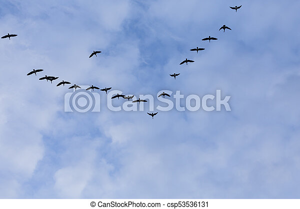 Group of migrating geese birds - csp53536131
