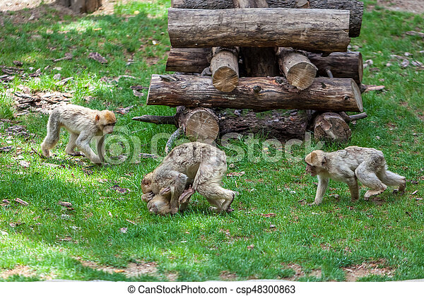 Group of monkeys in the Tbilisi zoo - csp48300863